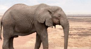 Elephant into a fridge